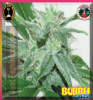Big Buddha Bubble Cheese Fem 10 Cannabis Seeds